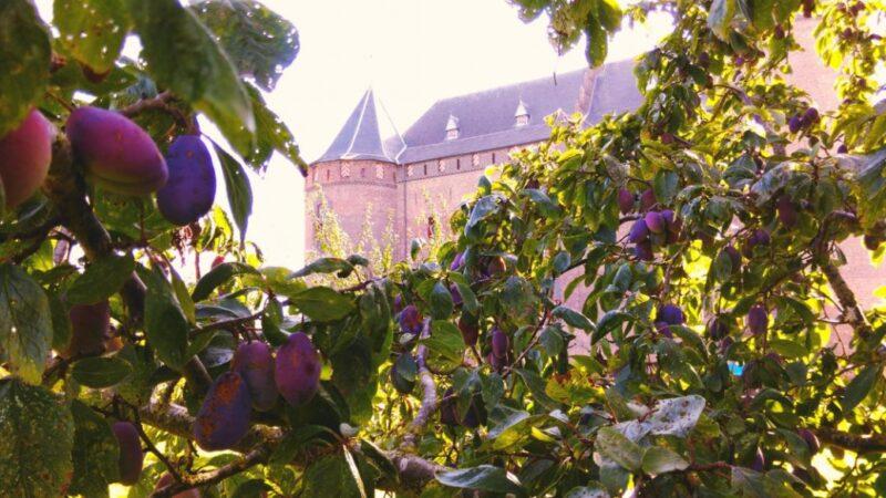 pruimen in de pruimenboomgaard van het Muiderslot voor een pruimenlikeur tijdens het pruimenfestival