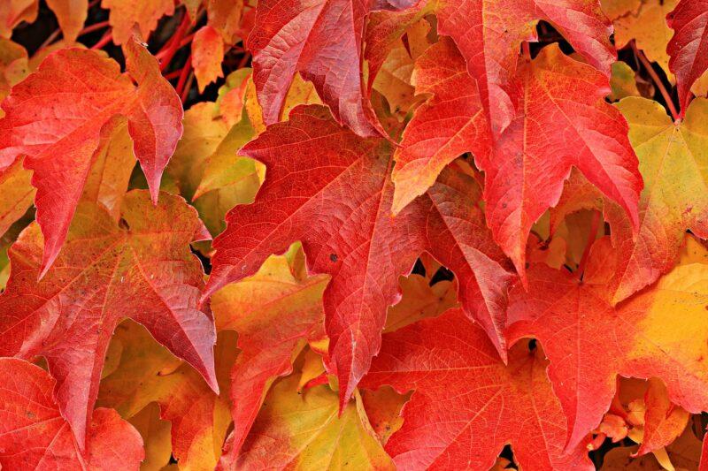 herfst banner met rode blaadjes